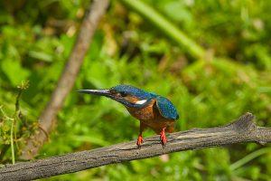 foto pajaro alcedo atthisa 300x200 - Ornitología en peligro de extinción